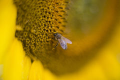 Bee on a sunflower. Close up shot of a bee on a sunflower Royalty Free Stock Image