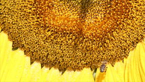 Bee on sunflower close up Royalty Free Stock Photography