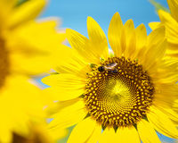 Bee on sunflower closeup Stock Photography