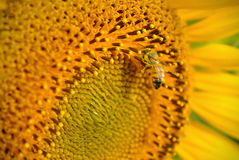 Bee & Sunflower Royalty Free Stock Photos