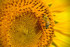 Bee & Sunflower Stock Photography