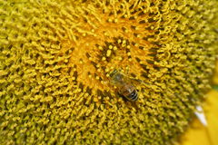 Bee On A Sunflower. A bee collecting sunflower pollen Royalty Free Stock Photo