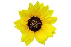 Bee on a sunflower Stock Photo