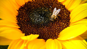Bee on a sunflower, collecting pollen Royalty Free Stock Photos