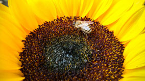 Bee on a sunflower, collecting pollen Royalty Free Stock Photography