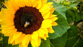 Bee on a sunflower, collecting pollen Stock Photos