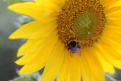 Bee and sunflower Royalty Free Stock Image