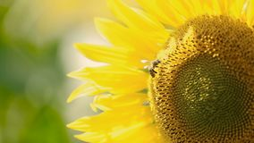 Bee On A Sunflower. Bee collects nectar from a sunflower flower stock video footage