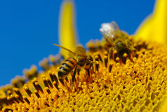 Bee in the sunflower Royalty Free Stock Photo