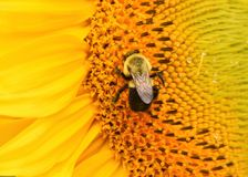 Bee on a sunflower. Bee covered in pollen feeding on a sunflower blossom Stock Image