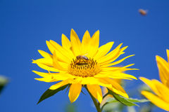 Bee on a sunflower Stock Images