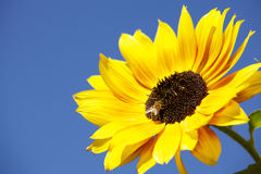 Bee on a Sunflower. Bee crawls over a sunflower collecting pollen Royalty Free Stock Image
