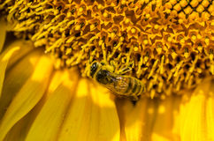 Bee on a sunflower detail Stock Photo
