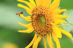 Bee and sunflower Royalty Free Stock Images