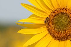 Bee on a Sunflower. Bee on Sunflower. Sunflower field in Ontario, Canada Royalty Free Stock Images