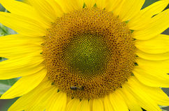 Bee on a sunflower Royalty Free Stock Images