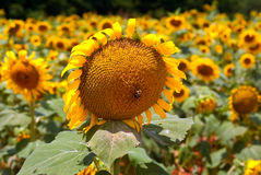 Bee on sunflower in field of sunflowers Royalty Free Stock Image
