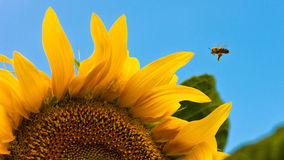 Bee and sunflower. Sunflower bee flies to the honey royalty free stock photography