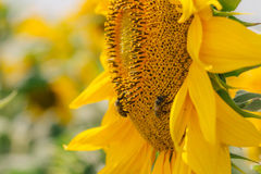 Bee on sunflower. Flower of sunflower close-up, natural background Stock Images