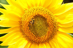 Bee on sunflower. Flower of sunflower. Close-up, natural background Royalty Free Stock Photos