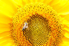 Bee on sunflower. Flower of sunflower Stock Photography