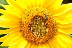 Bee on sunflower. Flower of sunflower Royalty Free Stock Image