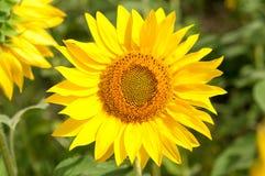 Bee on sunflower. Flower of sunflower Royalty Free Stock Photo