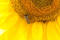 Bee on sunflower. Flower of sunflower Stock Images