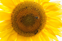Bee on sunflower. Flower of sunflower Royalty Free Stock Photography