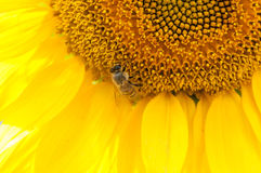 Bee on sunflower. Flower of sunflower Royalty Free Stock Image