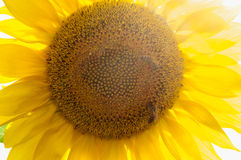 Bee on sunflower. Flower of sunflower Stock Image