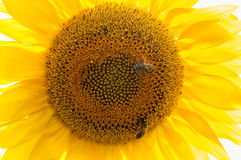 Bee on sunflower. Flower of sunflower. Close-up, natural background Royalty Free Stock Images
