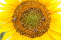 Bee on sunflower. Flower of sunflower. Close-up, natural background Royalty Free Stock Photography