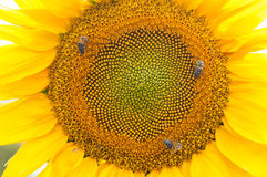 Bee on sunflower. Flower of sunflower. Close-up, natural background Stock Images