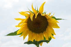 Bee on sunflower. Flower of sunflower. Close-up, natural background Royalty Free Stock Photo