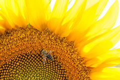 Bee on sunflower. Flower of sunflower. Close-up, natural background Royalty Free Stock Image