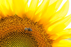 Bee on sunflower. Flower of sunflower. Close-up, natural background Stock Photography
