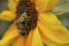 Bee and sunflower. Bee foraging pollen in a sunflower Royalty Free Stock Photos