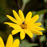 Bee on sunflower in garden Royalty Free Stock Images