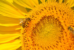 Bee & Sunflower Royalty Free Stock Photo