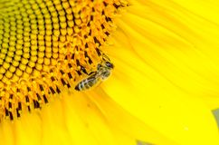 Bee in the sunflower. Great bee in the sunflower Stock Photo