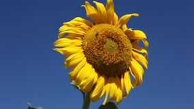 Bee on the sunflower in the field stock video footage
