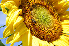 Bee in the sunflower. Honey bee on a bright yellow sunflower Royalty Free Stock Photography