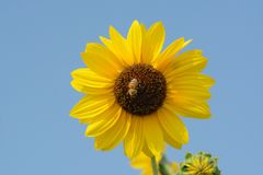 Bee on sunflower. Honey bee collecting pollen from sunflower against blue sky Royalty Free Stock Photo