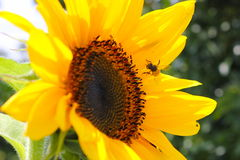 Bee on a sunflower Royalty Free Stock Image