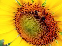 Bee on sunflower Stock Photo