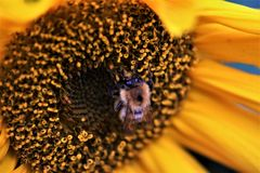 Bee on a Sunflower.  Royalty Free Stock Image