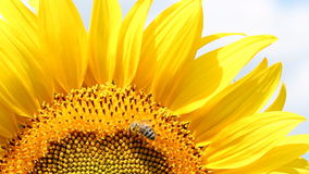 Bee on sunflower stock footage