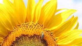 Bee on sunflower stock footage