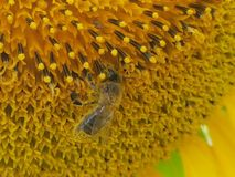 A bee in a sunflower. Made in France by Dennis Schöne. One at that the nectar collected from a sunflower Stock Photo